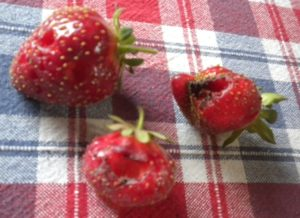 culled strawberries 094
