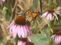 butterfly and echinacea 023